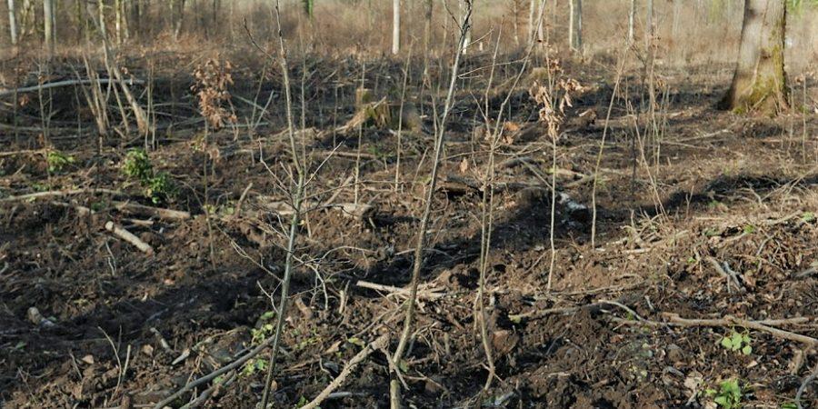 Eine Lichtung im Wald mit toten Bäumen